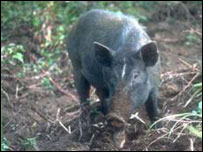 Wild pig (courtesy of Durham University)