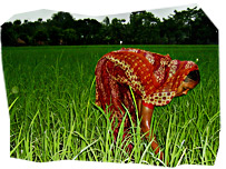Bangladeshi woman in a rice field