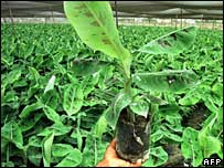 Banana saplings (file picture)