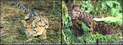 Two leopard species. Images: Naturepl.com/WWF-Canon