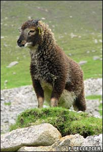 Soay sheep (F.Pelletier)