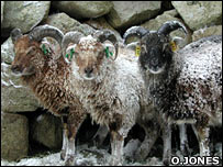 Soay sheep (O.Jones)