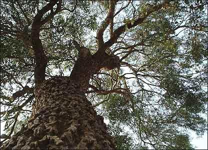 Árbol en Paraguay
