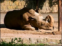 Rhino. Image: BBC