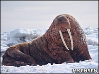 Pacific walrus (Mikkel Jensen)