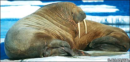 Walrus (Doug Allan/Science Photo Library)