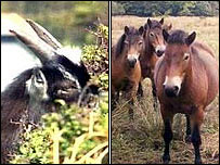 Lynton goat and Exmoor ponies