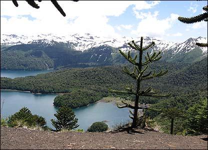 Araucarias en Chile