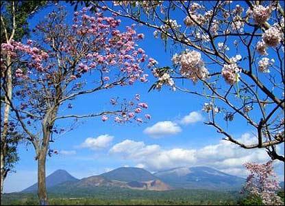 Maquilishuat, con flores rosadas, �rbol nacional de El Salvador
