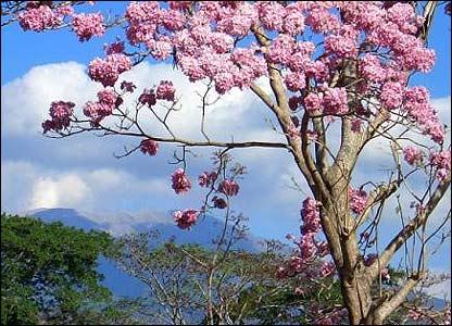 Maquilishuat, �rbol nacional de El Salvador