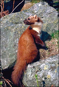 Pine marten (Pic: Lorne Gill/Scottish Natural Heritage)