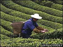 A Chinese tea picker