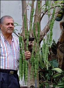 Moringa Ole�fera, �rbol en Valencia, Venezuela