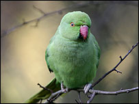 A rose-ringed parakeet