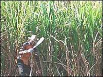 Sugar worker in Uganda