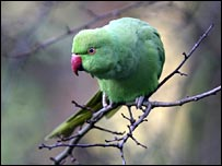 Parakeet in a London garden