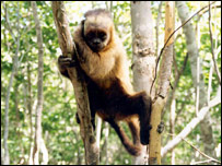 Capuchin monkey (Cambridge University)