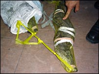 Smuggled crocodile (picture courtesy EU BAM Rafah)