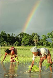 Planting rice, Tipura province (Photo AP)