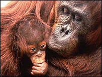Orang-utan (pic supplied by Ian Redmond)