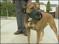 Pitbull terrier dog