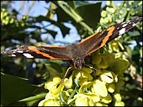 Red Admiral butterfly sighted in the UK in January