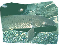 The Australian Lungfish