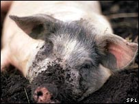 pig in mud