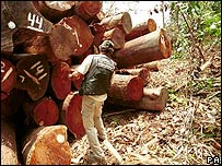 Un activista de Greenpeace anota la cantidad de �rboles de caoba derribados y escondidos en la selva / Foto de archivo