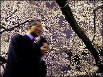 A Japanese couple walk beneath boughs of cherry blossom