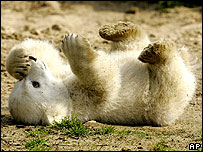 Knut the baby polar bear on public view