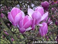 """Magnolia soulangeana """"Rustica Rubra""""  (L.Pearson)"""