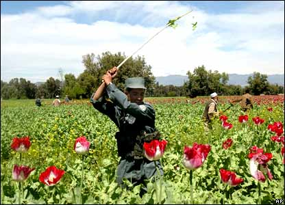 Afghan police officer destroying the opium poppies on the field during a poppy eradication campaign in Nangarhar province, east of Kabul.