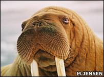 Walrus   Image: M. Jensen