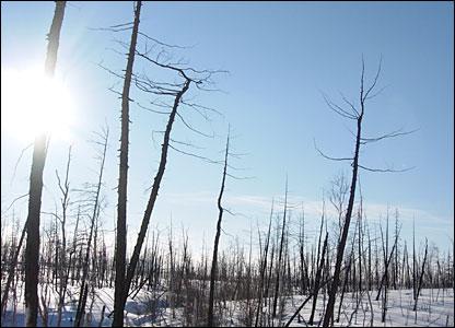 Norilsk woods