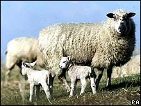 Sheep in England (File pic)