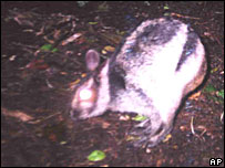 Sumatran striped rabbit