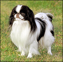 Japanese chin   Image: Mary Bloom / AKC