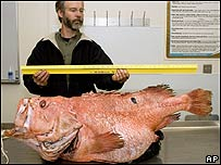 Alaska Fisheries Science Center expert holds a 38in ruler to a giant rockfish