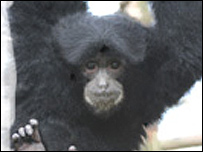 Siamang gibbon. Pic from Noah's Ark Zoo Farm