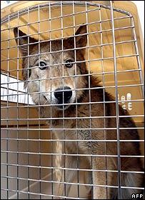 Wolf clone, AFP