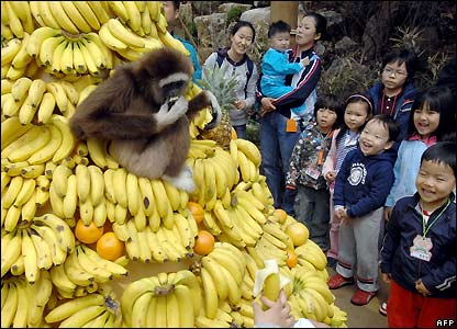 A white-handed gibbon in a South Korean amusement park