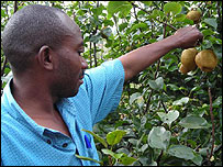 Technician looks at growing pears