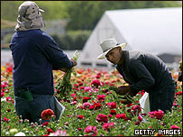 Trabajadores hispanos trabajan campos en California