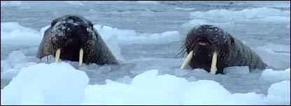 Walruses (Image: BBC)