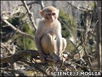 Macaque (Science/j.Moglia)