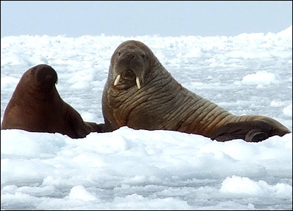 An adult walrus with its pup (image: BBC)