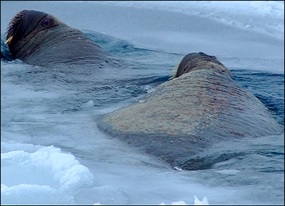 Walruses in the water (Image: BBC)