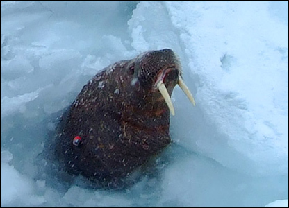 A tagged walrus (Image: BBC)