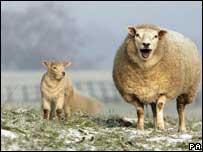 Ewe and lamb, PA